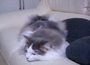 猫なのに魚ポーズ